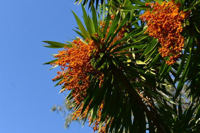 21 - Dracaena arbórea