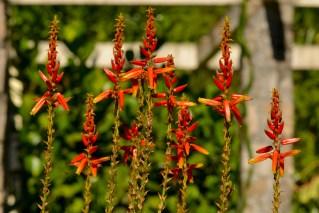 22 - Aloe vera