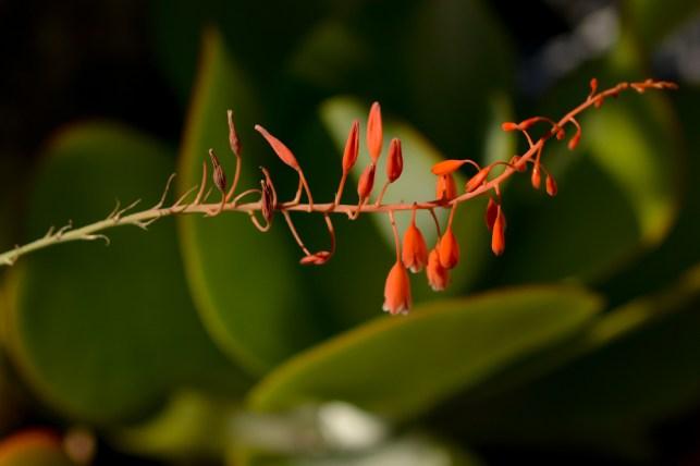 23 - Aloe vera