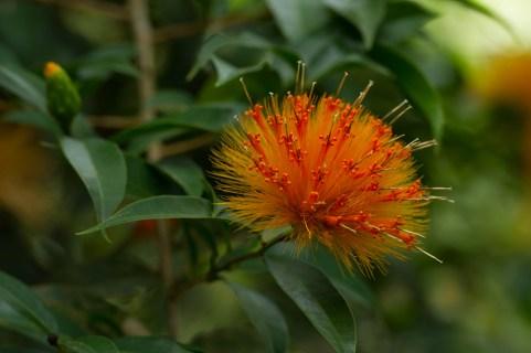 23 Stifftia crysantha