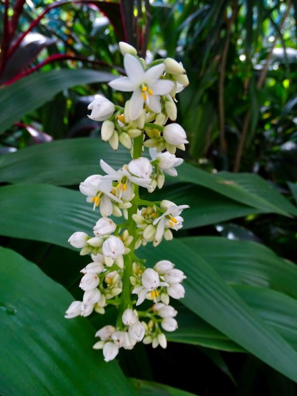 24 - Xiphidium caeruleum