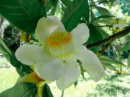 25 - Gustavia speciosa