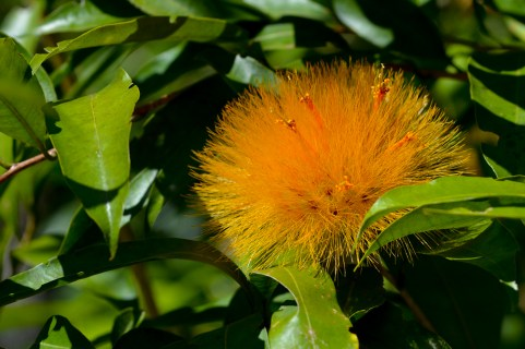26 - Stifftia crysantha