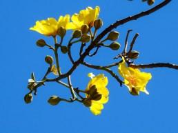 27 - Cochlospermum vitifolium
