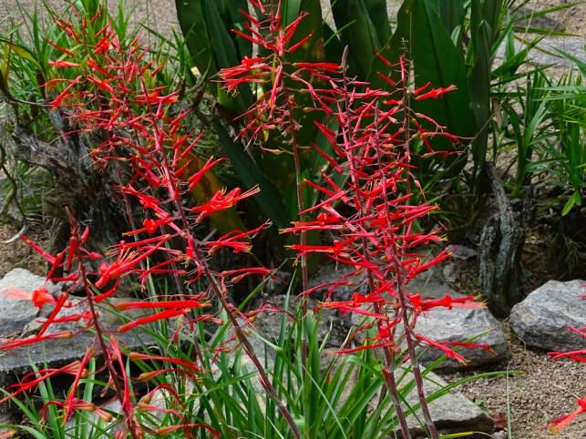 28 - Pitcairnia sp