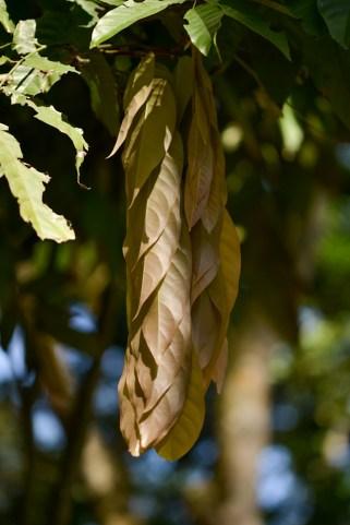 29 - Saraca thaipingensis