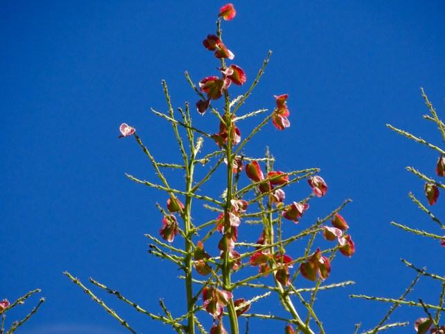 30 - Beaucarnea recurvata