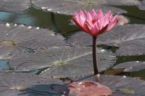 31 Nymphaea rubra rosa