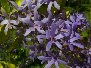 31 - Petrea racemosa