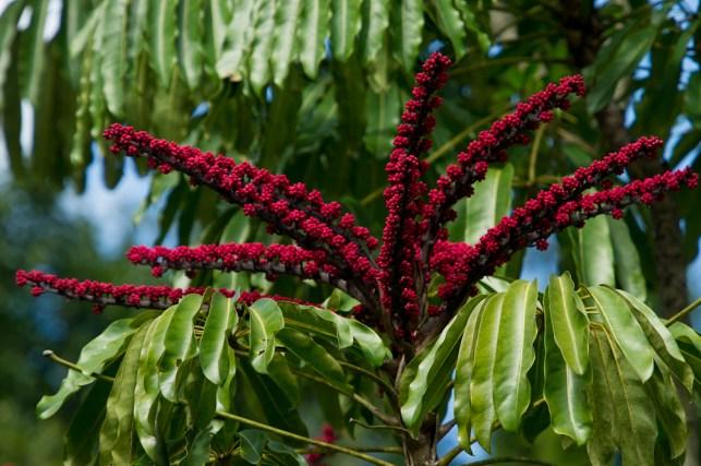 31 - Shefflera actinophylla