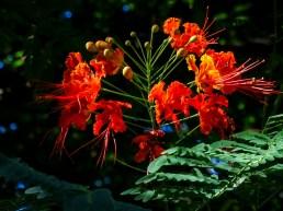 33 - Caesalpinia pulcherrima
