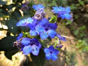 36 - Eranthemum nervosum