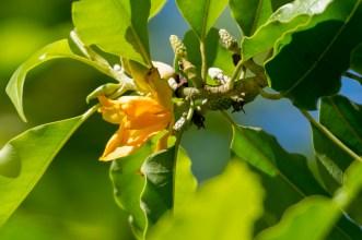 37 - Michelia champaca