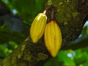 37 - Theobroma cacao