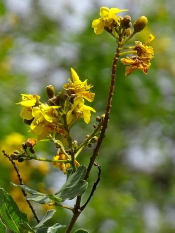 39 - Caesalpinia pyramidalis
