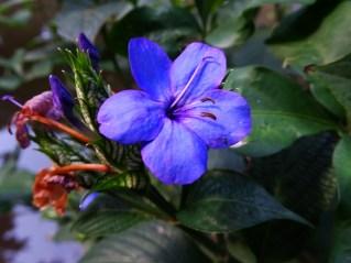 39 - Eranthemum nervosum