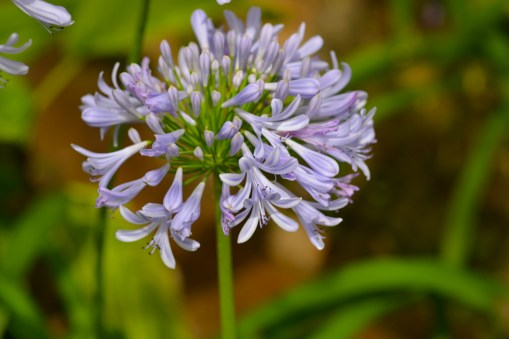 42 - Agapanthus africanes