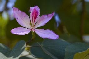 43 - Bauhinia variegata