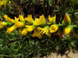 43 - Dyckia brevifolia