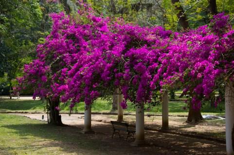 44 - Bougainvillea spectabilis