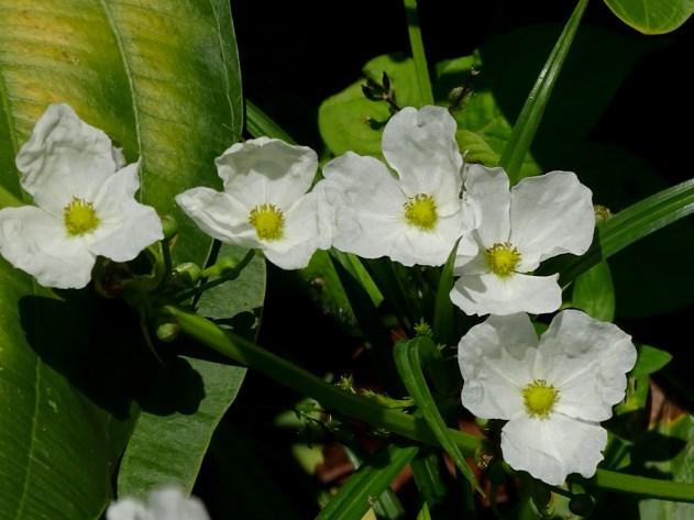 44 - Echinodorus grandiflorus
