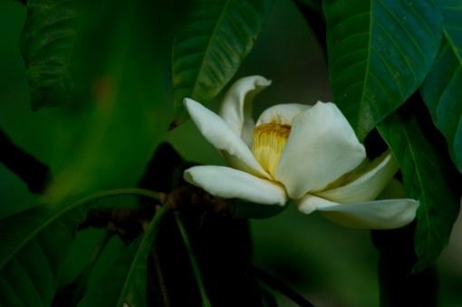 44 - Gustavia speciosa