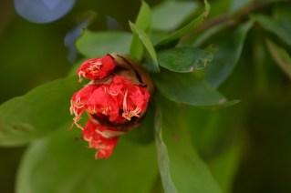 49 - Brownea longipedicellata