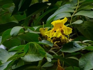 49 - Markhamia obtusifolia