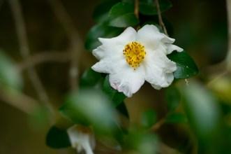 50 Camellia sp
