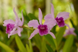 53 - Basilaelia lobata