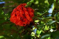 53 - Brownea grandiceps
