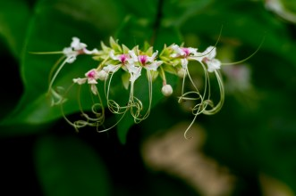 53 Clerodendron trichotomum