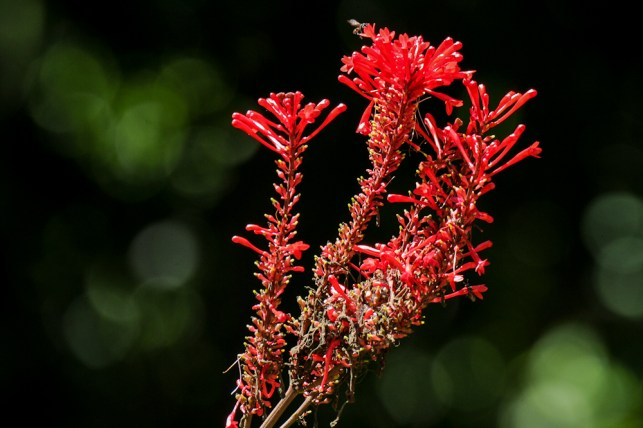 53 - Pachystachy spicata