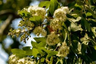 55 - Eucalyptus torelliana
