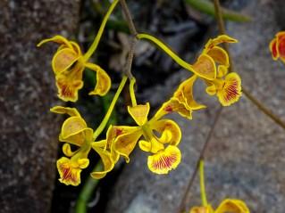 56 - Encyclia alboxanthina
