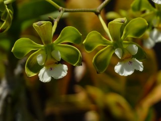 57 - Miltonia flavescens