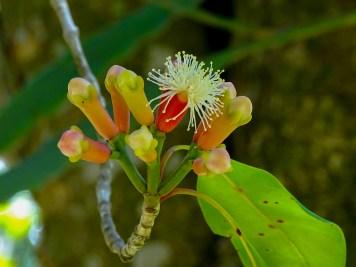 59 - Calyptranthus aromática