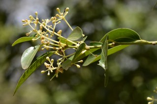 59 - Cinnamomum verum
