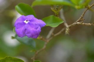 60 - Brunfelsia uniflora