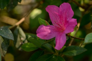 60 - Rhododendron simsii