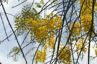 61 - Cassia ferruginea