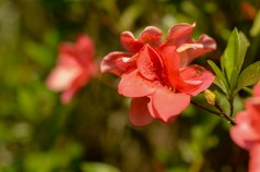 62 - Rhododendron simsii