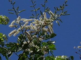 63 - Mimosa caesalpinaceae