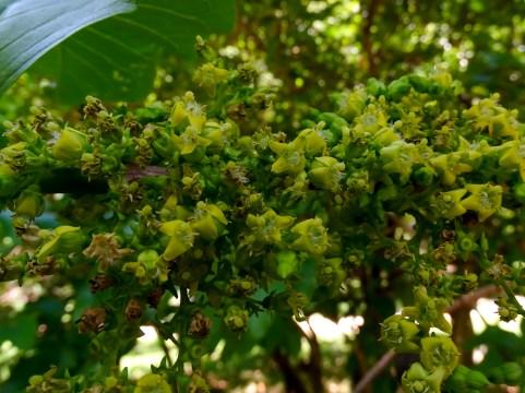 63 - Vagueria madagascariensis