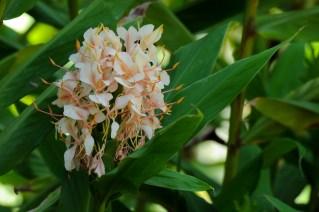 67 - Hedychium crysoleucum
