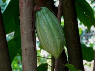 69 - Theobroma cacao