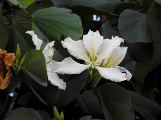 Bauhinia variegata albo-flava- (2)