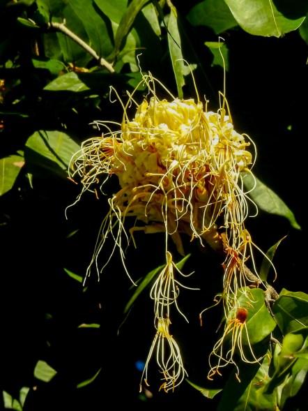 Brawnea longipedicellata - 46