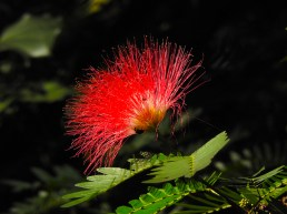 Calliandra harrsii- 48