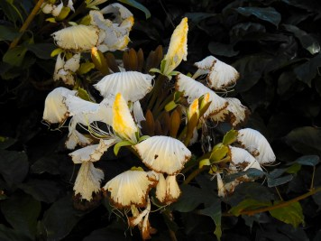 Camoensia maxima- 20